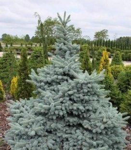 Picea pungens 'Hoto', Ялина блакитна 'Хото'