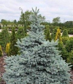 Picea pungens 'Hoto', Ель голубая 'Хото'