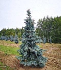 Picea pungens 'Schovenhorst', Ель колючая 'Шовенхорст'