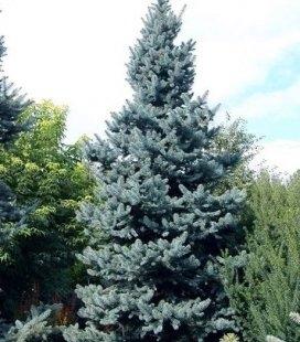 Picea pungens 'Schovenhorst', Ялина колюча 'Шовенхорст'