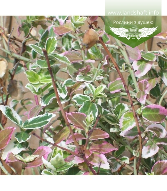 Euonymus fortunei 'Emerald Gaiety' Бересклет Форчуна