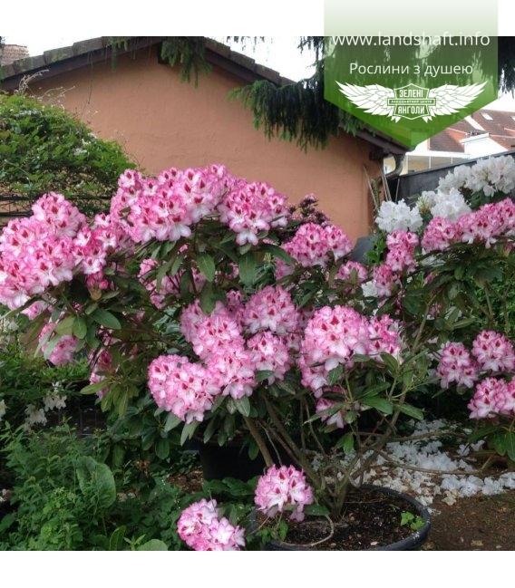 Rhododendron 'Hachmann's Charmant', Рододендрон 'Хакманс Шарман'