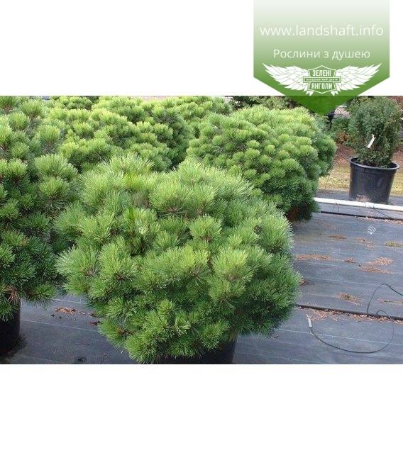 Pinus densiflora 'Jane Kluis', Сосна густоквіткова 'Джейн Клуіс'