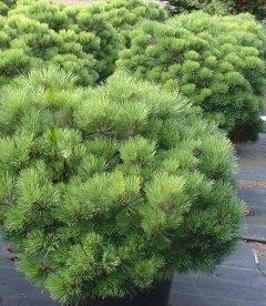 Pinus densiflora 'Jane Kluis', Сосна густоцветковая 'Джейн Клуис'