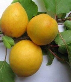 Prunus armeniaca 'Aviator', Абрикос 'Авиатор'