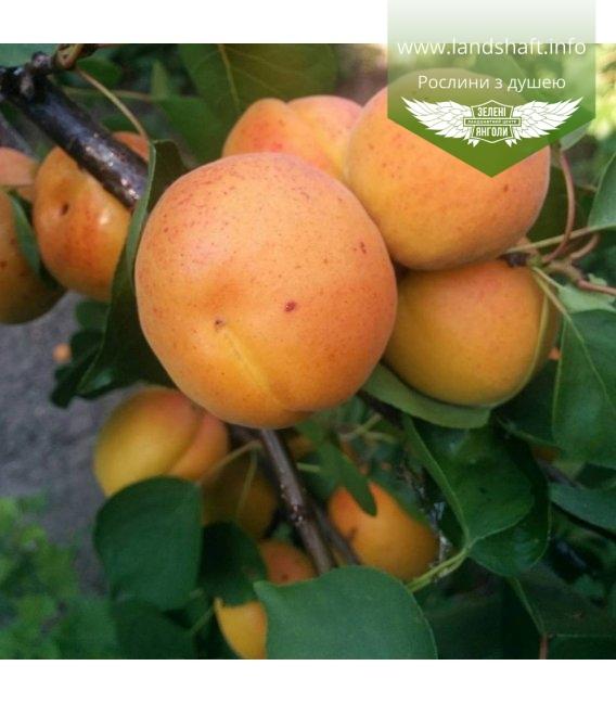 Prunus armeniaca 'Kievski Krasen', Абрикос 'Киевский красень'