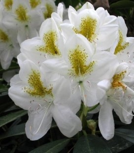 Rhododendron catawbiense 'Album', Рододендрон катевбинский 'Альбум'
