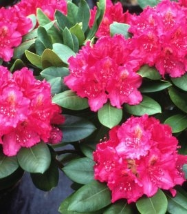 Rhododendron 'Pearces American Beauty', Рододендрон 'Персис Американ Бьюти'