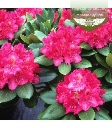 Rhododendron 'Pearces American Beauty', Рододендрон 'Пірсіз Амерікан Бюті'