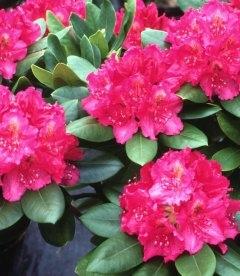Rhododendron 'Pearces American Beauty', Рододендрон 'Персис Американ Бьюти'