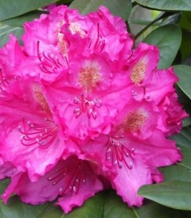 Rhododendron 'Pearces American Beauty', Рододендрон 'Пірсіз Амерікан Бюті'