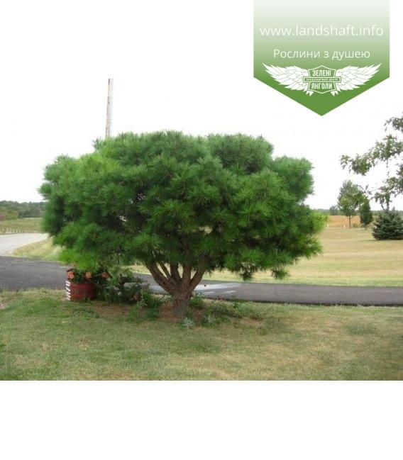 Pinus densiflora 'Umbraculifera', Сосна густоквіткова 'Умбракуліфера'