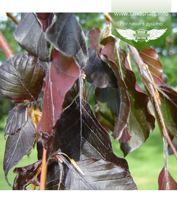 Fagus sylvatica 'Purpurea Pendula', Бук европейский 'Пурпуреа Пендула'