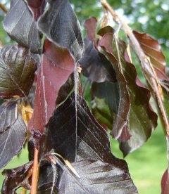 Fagus sylvatica 'Purpurea Pendula', Бук європейський 'Пурпуреа Пендула'