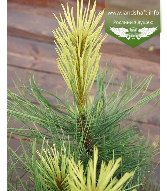 Pinus nigra 'Aurea', Сосна чорна 'Ауреа'