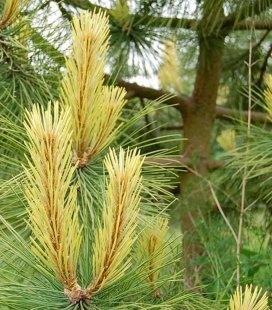 Pinus nigra 'Aurea', Сосна черная 'Ауреа'