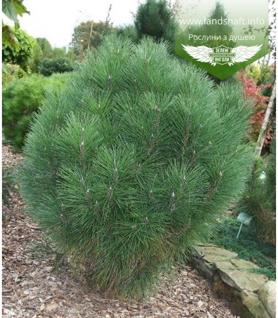 Pinus nigra 'Rondello ', Сосна черная' Ронделло'