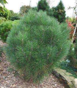 Pinus nigra 'Rondello', Сосна чорна 'Ронделло'