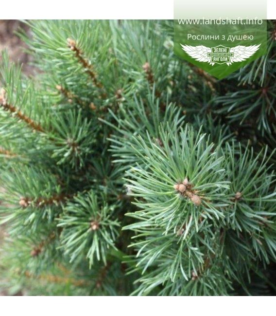 Pinus sylvestris 'Argentea Compacta', Сосна звичайна 'Аргентеа Компакта'