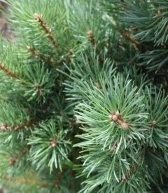 Pinus sylvestris 'Argentea Compacta', Сосна обыкновенная 'Аргентеа Компакта'