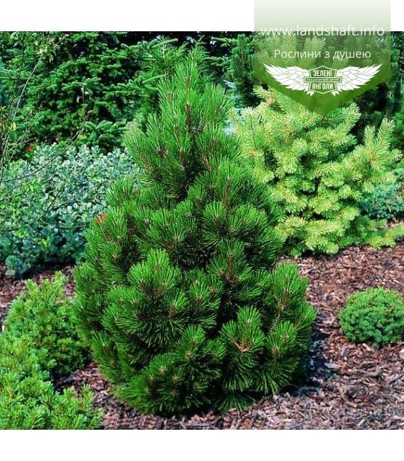 Pinus leucodermis 'Malinki', Сосна білокора 'Малінкі'