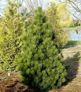 Pinus leucodermis 'Malinki', Сосна белокорая 'Малинки'