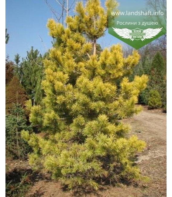 Pinus sylvestris 'Gold Coin', Сосна звичайна 'Голд Койн'