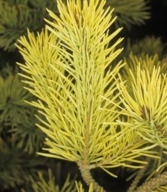 Pinus sylvestris 'Gold Coin', Сосна обыкновенная 'Голд Койн'