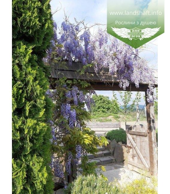 Wisteria sinensis, Гліцинія китайська купити саджанці з доставкою