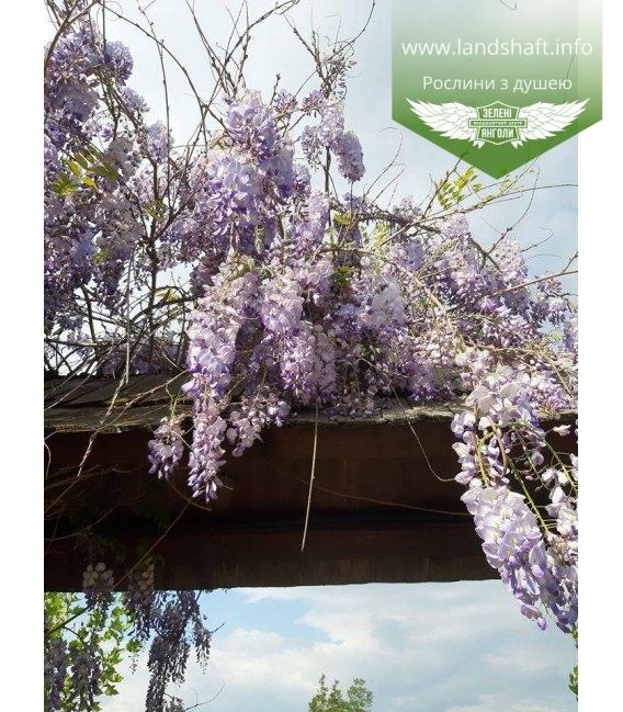 Wisteria sinensis Глициния китайская купит саженцы с доставкой