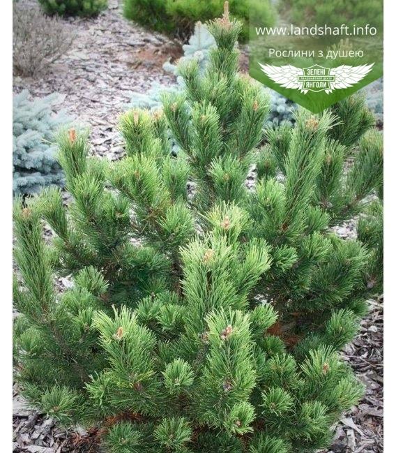 Pinus mugo 'Pal Maleter', Сосна гірська 'Поль Малетер'
