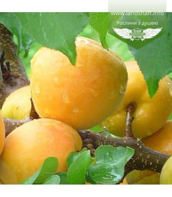 Prunus armeniaca 'Shalah Erevani', Абрикос 'Шалах Ереванский'
