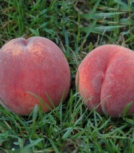 Prunus persica 'Vine Gold', Персик 'Вайн Голд'