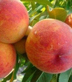 Prunus persica 'Zolotoy Yubiley', Персик 'Золотой Юбілей'