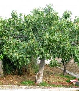 Ficus carica, Инжир