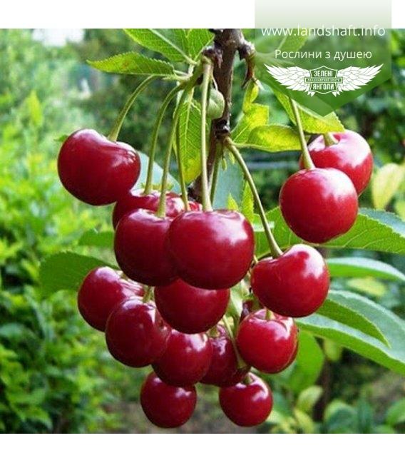 Prunus cerasus 'Podbelyskaya', Вишня 'Подбєльська'