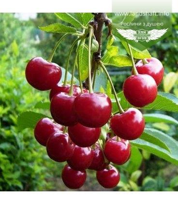Prunus cerasus 'Podbelyskaya', Вишня 'Подбельськая'