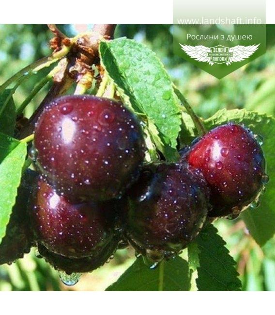 Prunus avium 'Valeriy Chkalov', Черешня 'Валерій Чкалов'