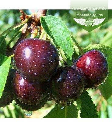 Prunus avium 'Valeriy Chkalov', Черешня 'Валерий Чкалов'