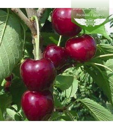Prunus avium 'Regina', Черешня 'Регіна'