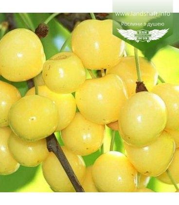 Prunus avium 'Dachnica', Черешня 'Дачниця'
