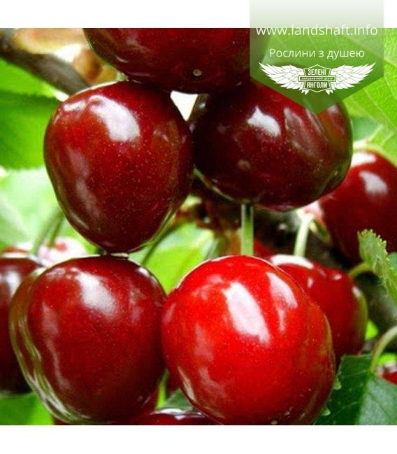 Prunus avium 'Krupnoplidna', Черешня 'Крупноплідна'