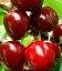 Prunus avium 'Krupnoplidna', Черешня 'Крупноплодная'