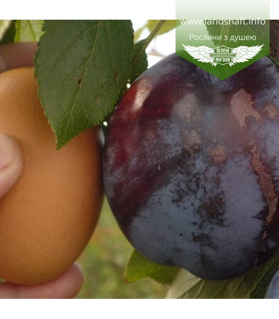 Prunus domestica 'Amers', Слива домашня 'Амерс'