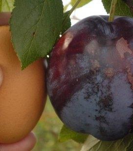 Prunus domestica 'Amers', Слива домашняя 'Амерс'