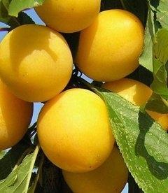 Prunus domestica 'Yantarnaya Mliivska', Слива домашняя 'Янтарная Млиивская'