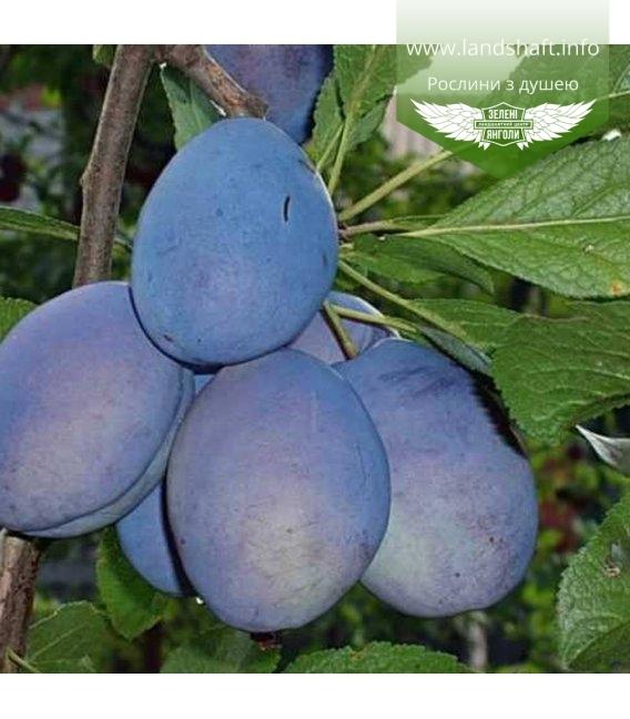Prunus domestica 'Chachak Rannyaya', Слива домашняя 'Чачакская ранняя'