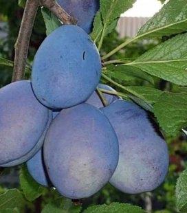 Prunus domestica 'Chachak Rannyaya', Слива домашня 'Чачакська рання'