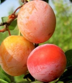 Prunus salicina, Слива диплоїдна червона