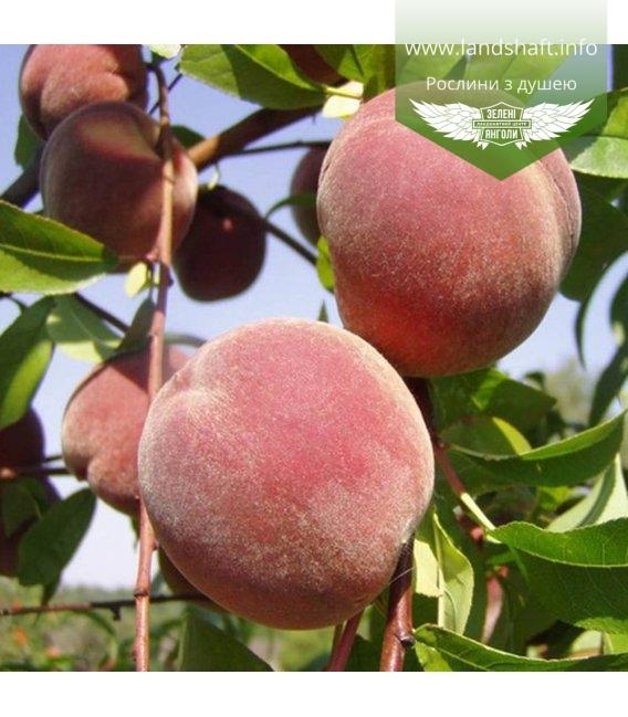 Prunus persica 'Gloria', Персик 'Глорія'